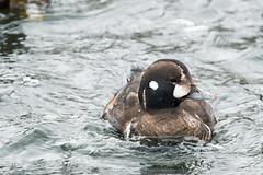 Harlequin Duck 02