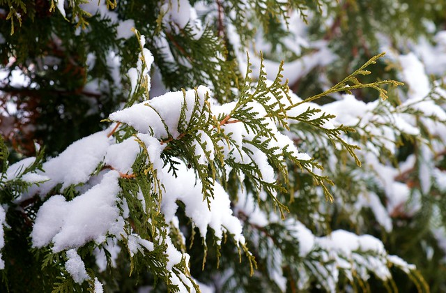 Munich - Snow on Thuja