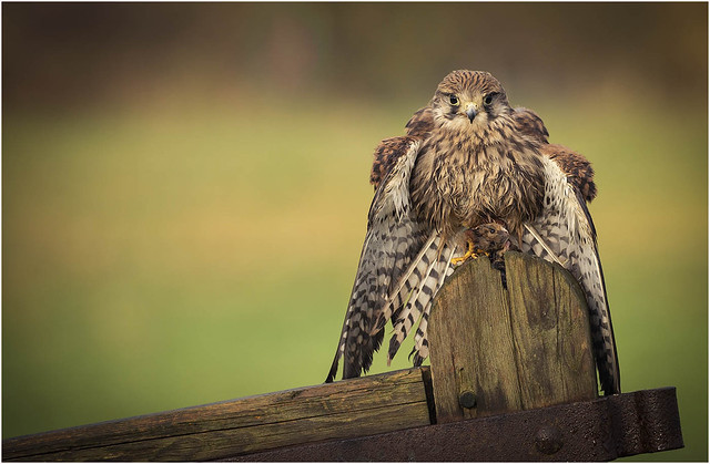 Kestrel with lunch