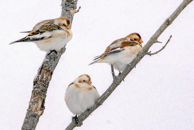 Snow Buntings