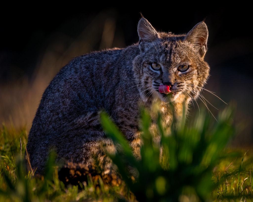 Beautiful bobcat at sunrise 😻