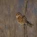 Bruant hudsonien, Spizella arborea, American Tree Sparrow-1866-Edit.jpg