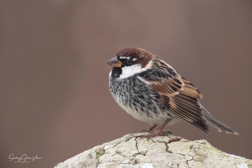 Gorrión moruno / Spanish sparrow (Passer hispaniolensis)