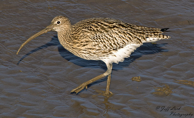 DSC5254  Curlew...