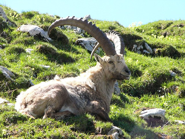 06.09.04.Bouquetin des Alpes - The Alpine Ibex