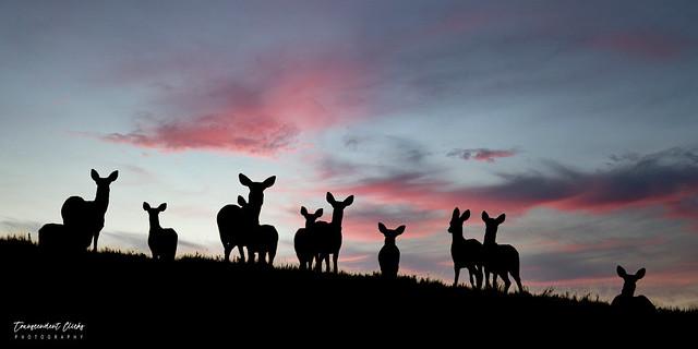 Mule Deer at Dusk (Explored)