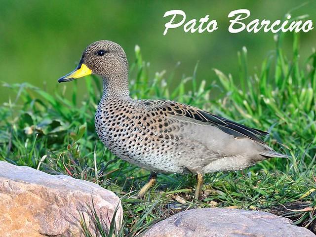 pato barcino (2)