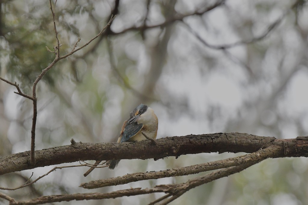Sacred Kingfisher (  A wash after a big meal )
