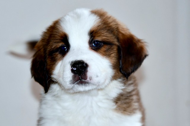 Pearl, a sweet Saint Bernese Puppy
