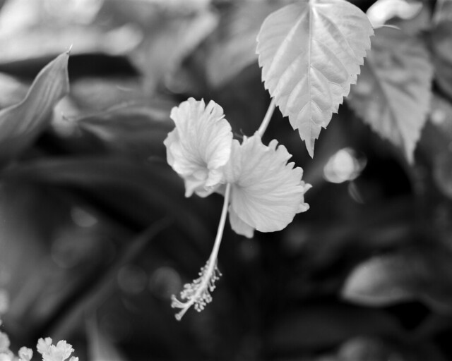 Red hibiscus in BW