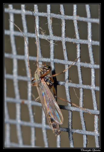 Chironomidae