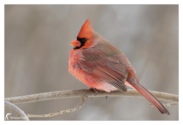 Cardinal rouge / Red Cardinal