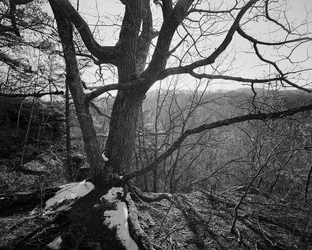 Gnarly Tree, Christmas Rocks