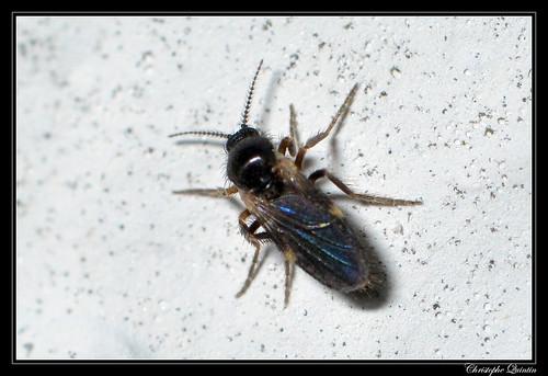 Forcipomyia sp. femelle