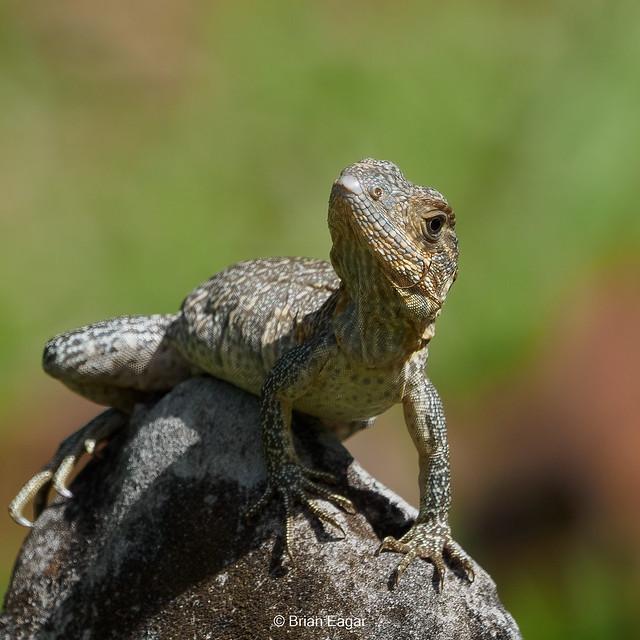 Young Black Spiny-tailed iguana (Explored 1-23-2021)