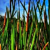 Bullrushes #nature #Ngāroto #TrailRunning