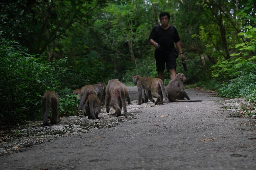 猴群自人們的身旁走過,皮毛幾乎要擦過遊客的褲管。劉羽芯攝。