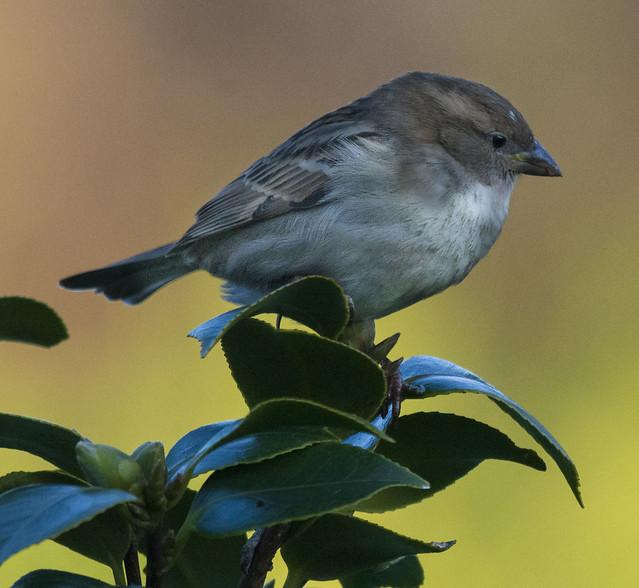 A Sparrow on Camellia