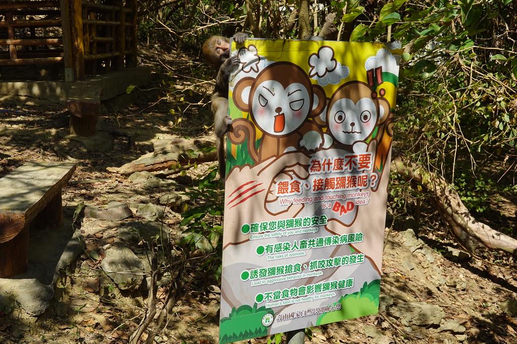 台灣獼猴於2019年正式自保育類名單除名,族群數量成為討論焦點之一。劉羽芯攝。