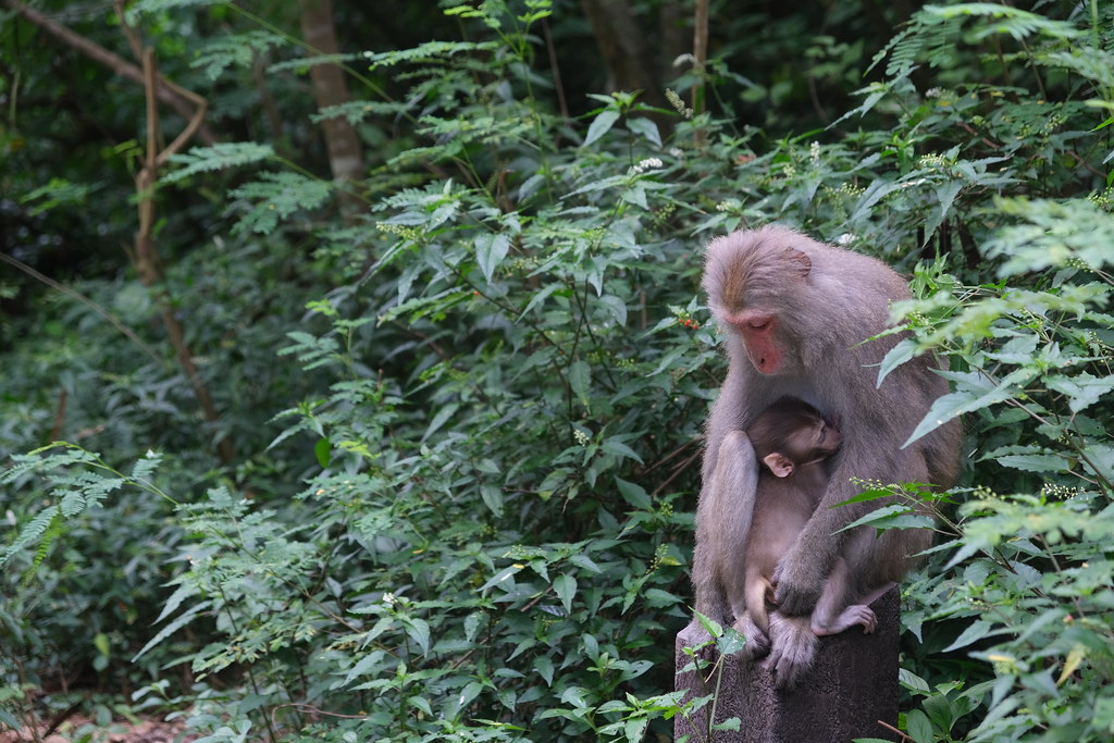 母猴摟著小猴。劉羽芯攝。