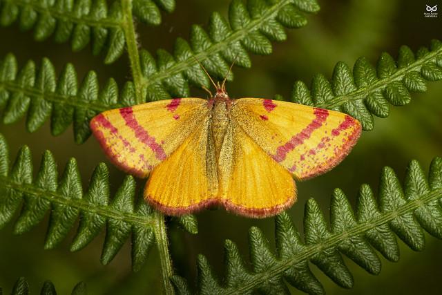 Lythria sanguinaria