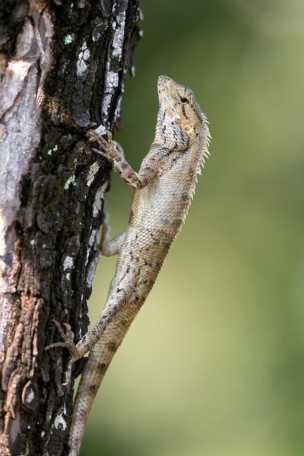 200122 - Changeable Lizard