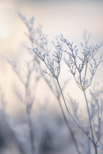 Wintery Grasses