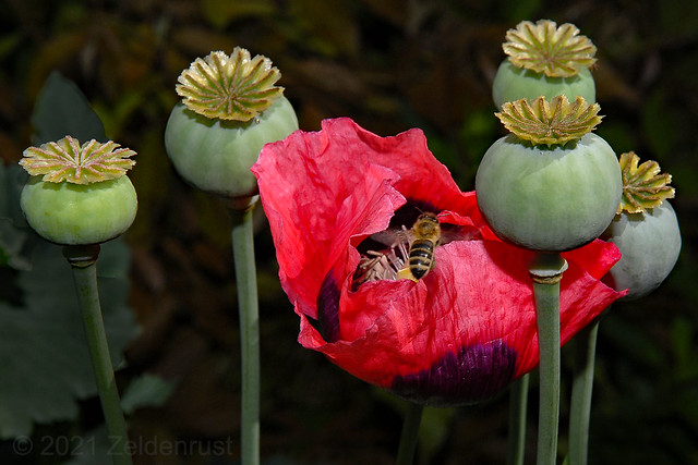 Papaver & Honeybee