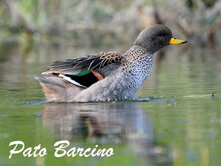 pato barcino (3)