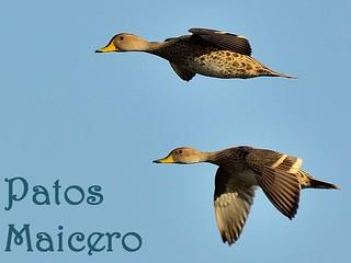 pato maicero (3)