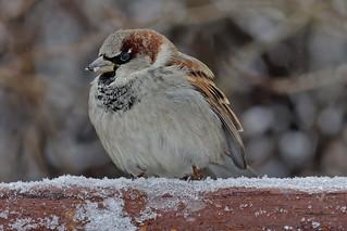 Домовый воробей, Passer domesticus domesticus, House Sparrow