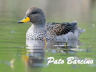 pato barcino (1)