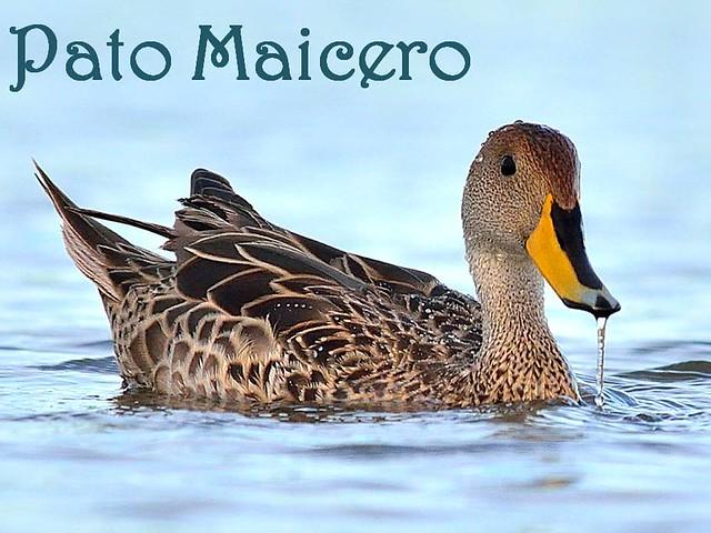 pato maicero (2)
