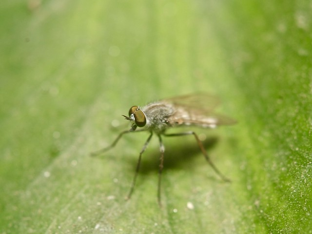 Tiny green fly