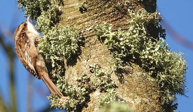 Treecreeper (Certhia familiaris) ©