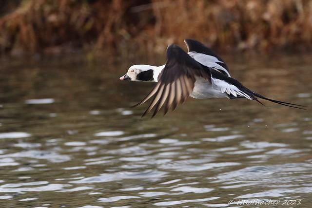 Harelde boréale - Clangula hyemalis - Long-tailed Duck