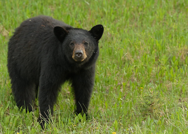 Black Bear...#22