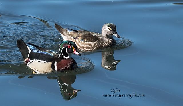 Wood-Ducks-Mr-and-Mrs-Wood-Duck