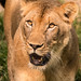 A Lioness 3-0 F LR 6-23-19 J137
