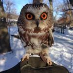 Saw whet owl at Tamarack