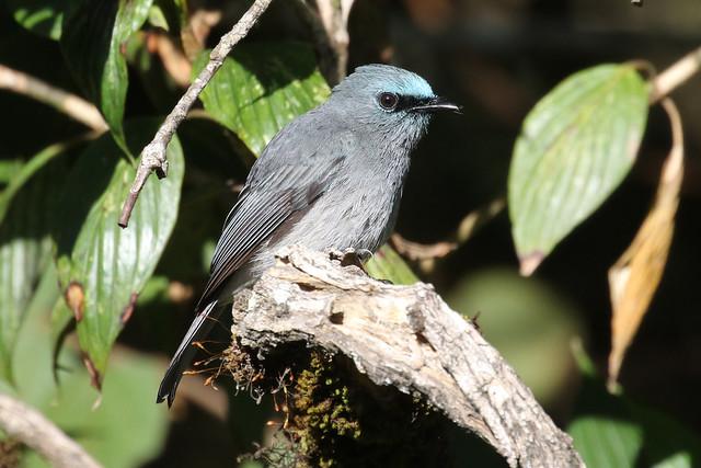 Dull-blue Flycatcher - Eumyias sordidus
