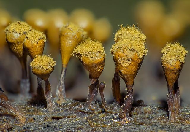 Hemitrichia calyculata