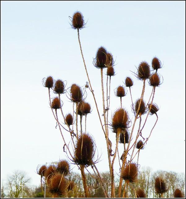 Wild Teasel Plants ..