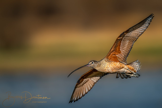 Long-billed curlew in the warm pre-sunset light