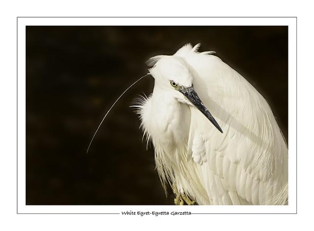 Egret white-Egretta garzetta-Aigrette blanche 3