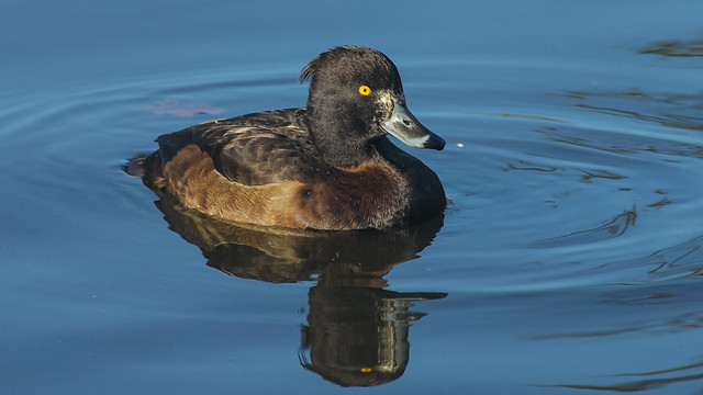 Tufted Duck UK