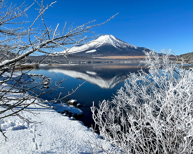 Fuji and frost covered trees