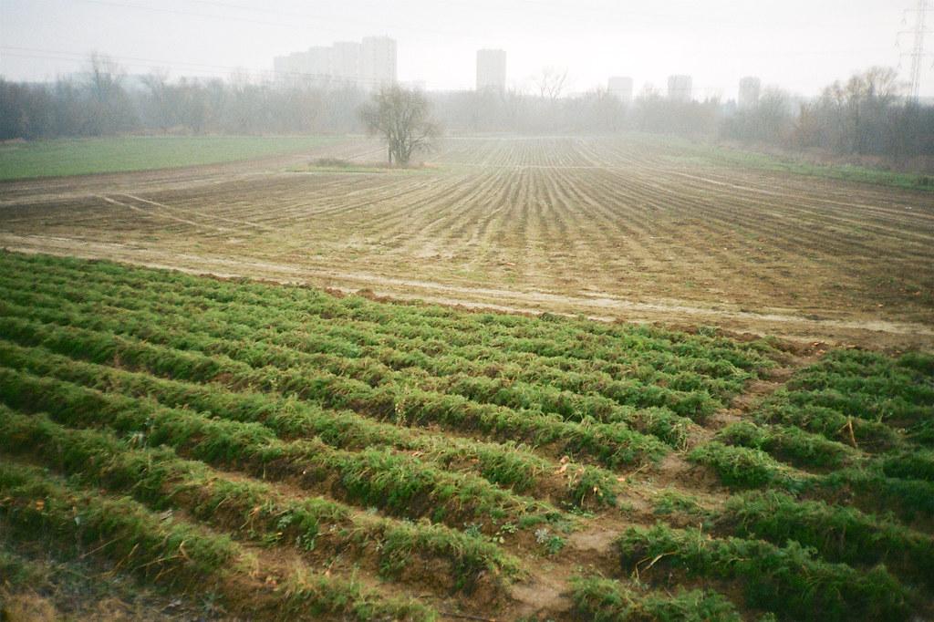 Marchewkowe pole / Carrot field