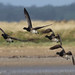 Brent Geese in flight
