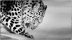 amur leopard (bw)